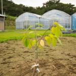 【世界三大美果】である「チェリモヤ」「アテモヤ」を定植しました!