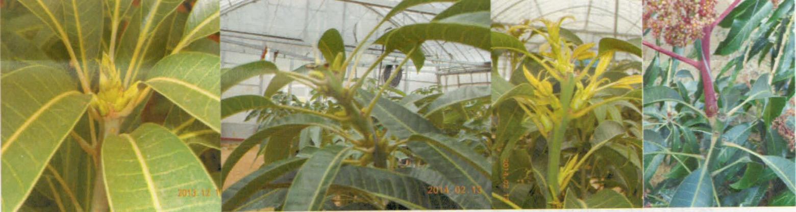 マンゴー-早い花芽の切り返し処理