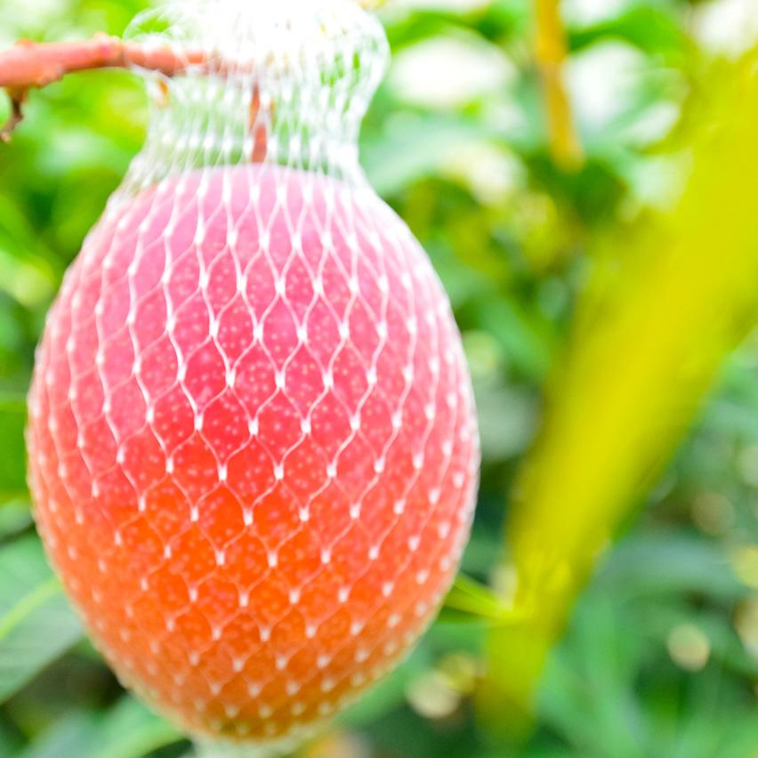 マンゴーが収穫ネットに落ちている様子