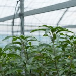 【マンゴー研修会】で現状の栽培課題が見えてきた!