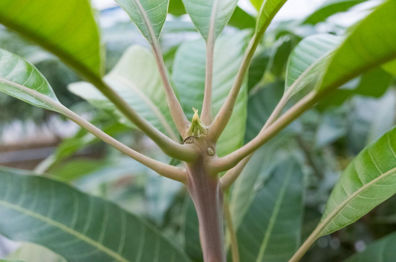 マンゴーの頂芽