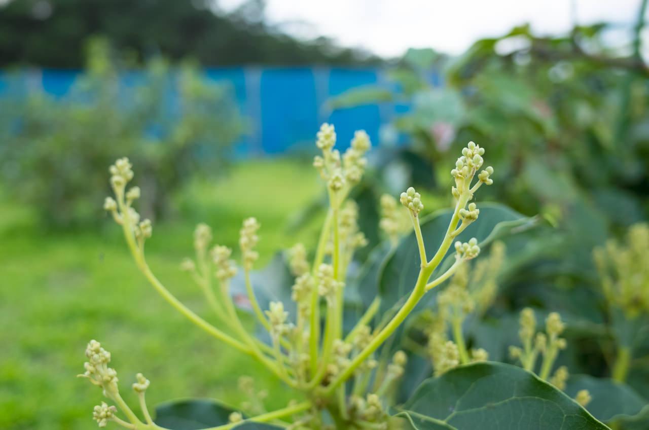 暖かい天気の続く「徳之島」では【アボカド】の花が咲きそうです! | 花徳マンゴー