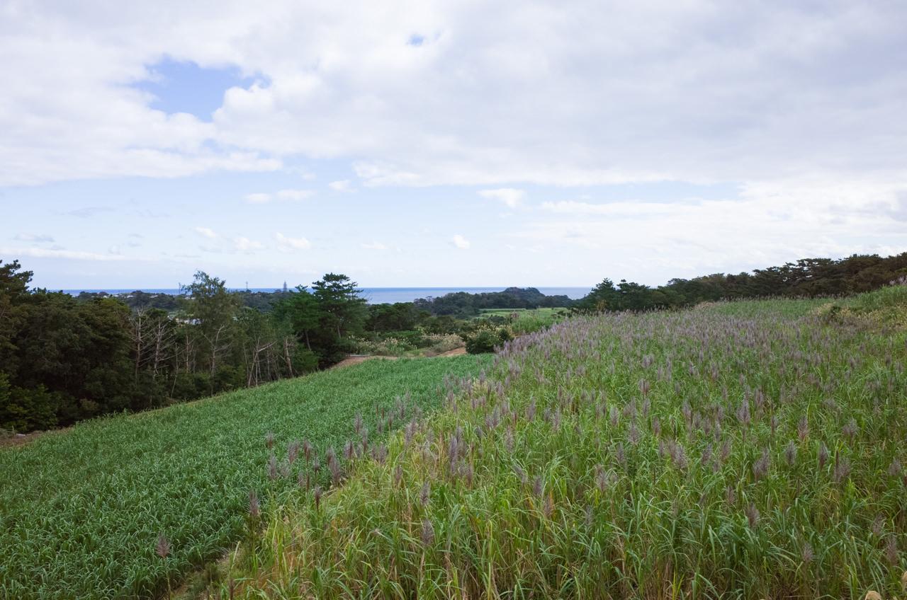 サトウキビの春植えと夏植えの違い