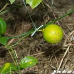 我が農園では、真ん丸の「レモン」が実っています。