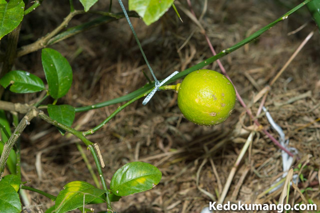 我が農園では、真ん丸の「レモン」が実っています。 | 花徳マンゴー
