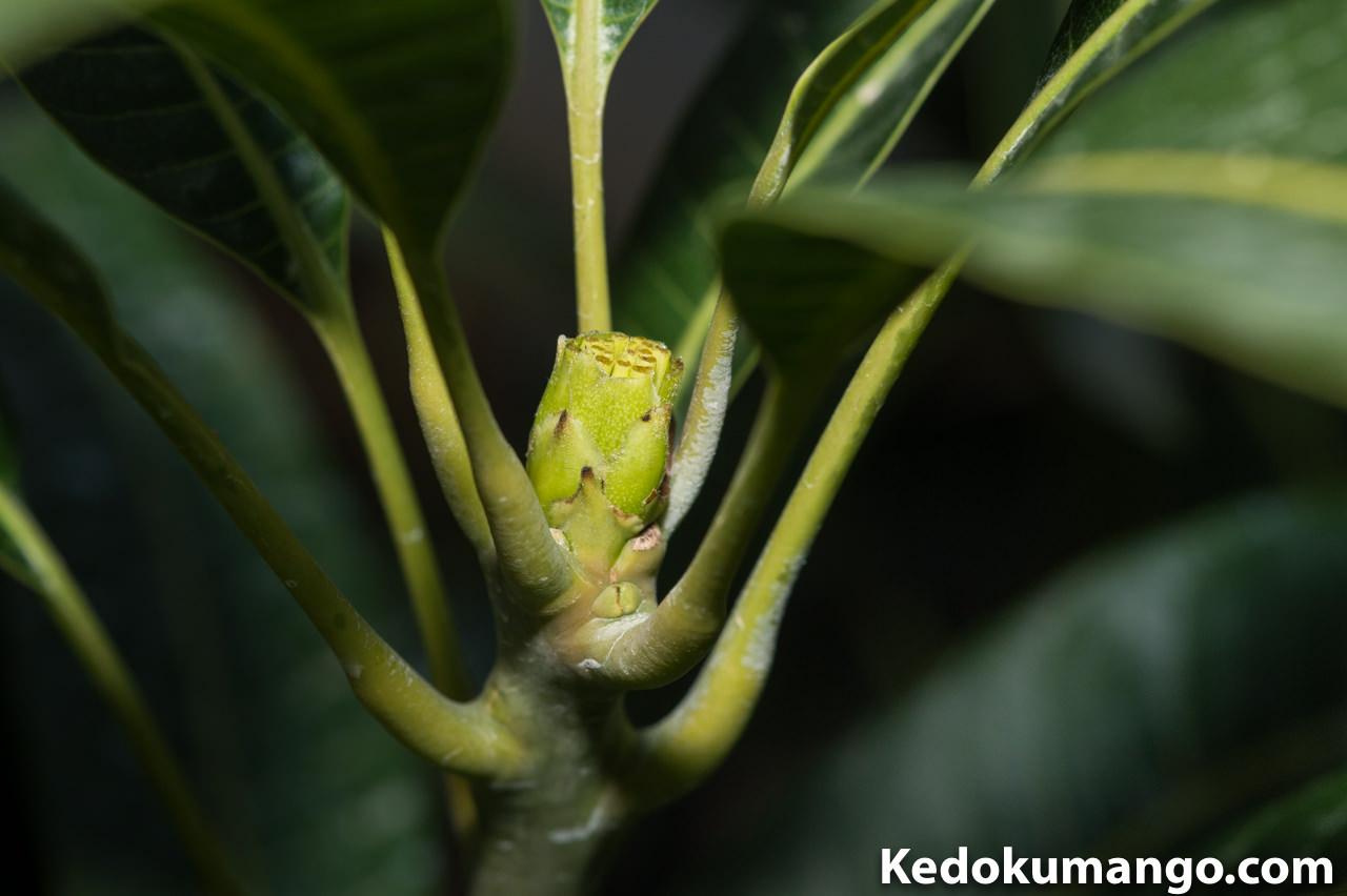 【マンゴー栽培】花芽の早期処理方法について | 花徳マンゴー