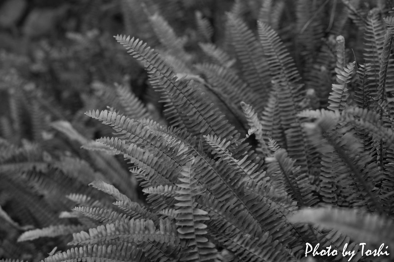 シダの葉をモノクロで現像したもの
