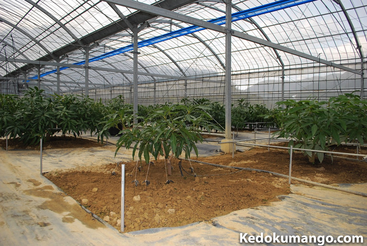マンゴーの苗木の成長の様子-1