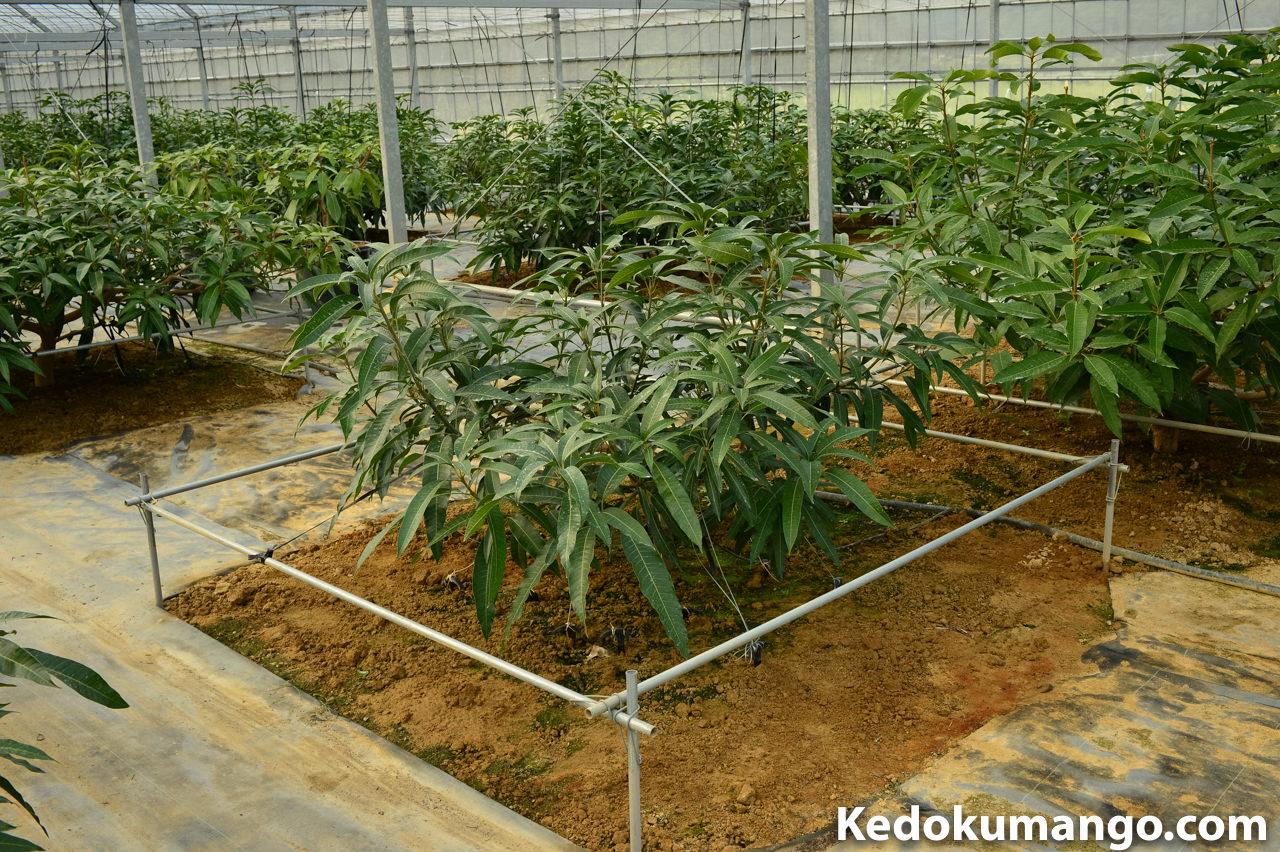 マンゴーの苗木の成長の様子-2