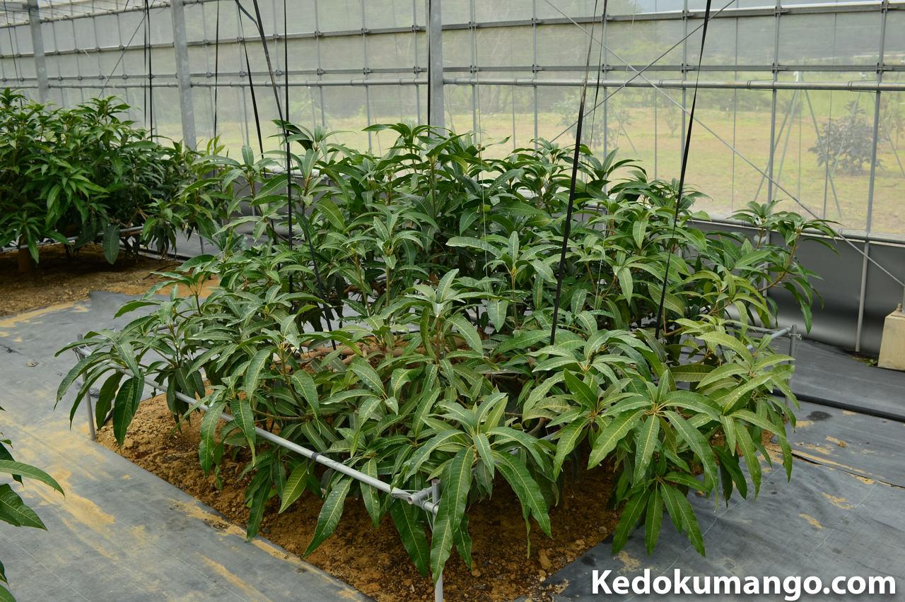 マンゴーの成長の様子-4