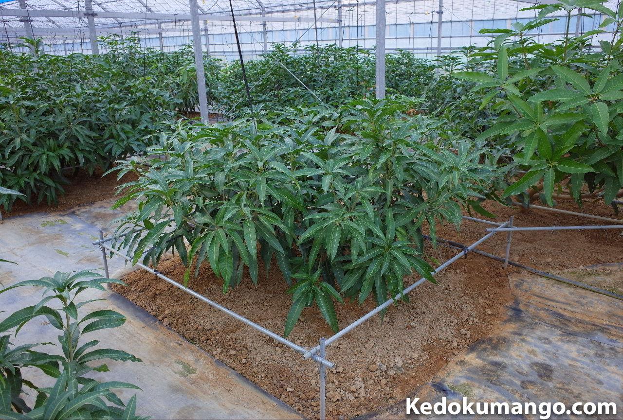 マンゴーの苗木の成長の様子-3