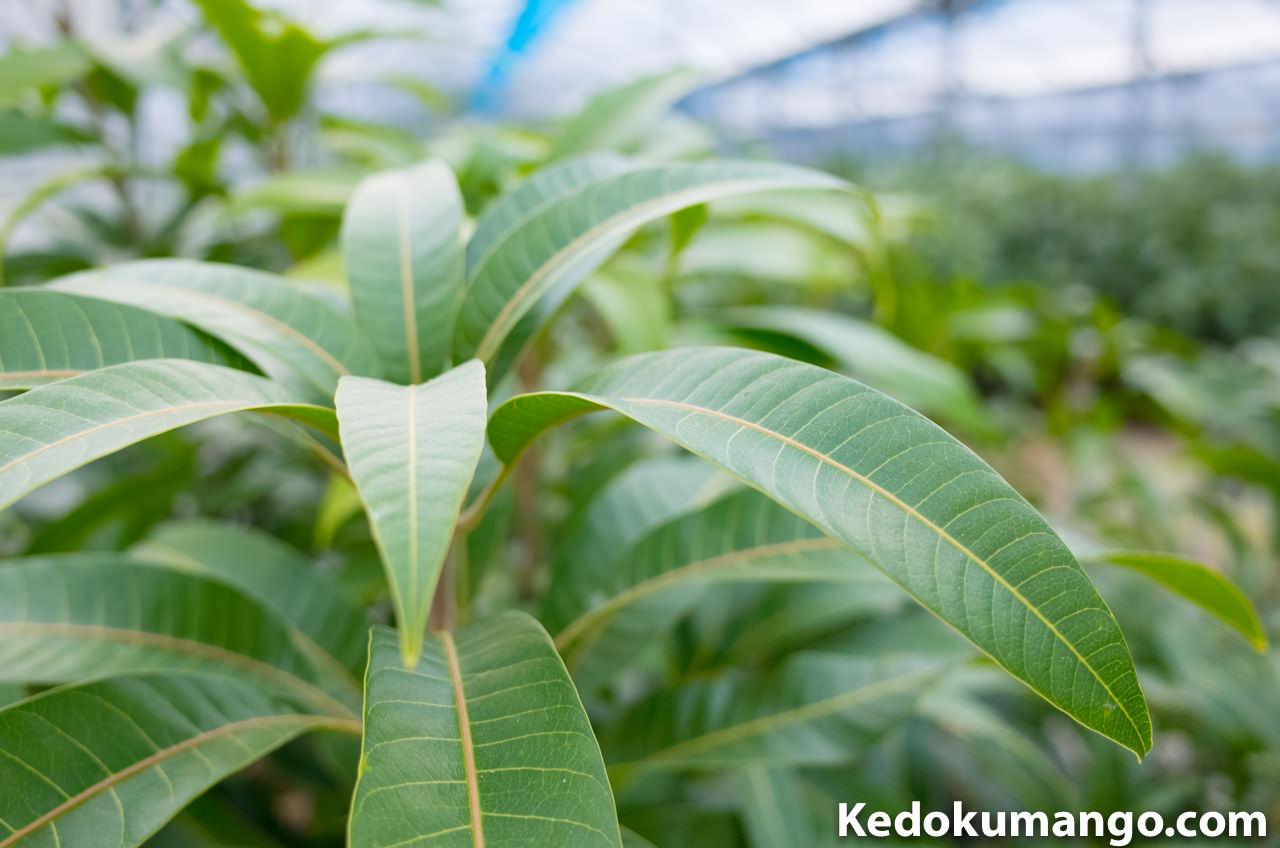 寒波が通り過ぎた後のマンゴーの葉
