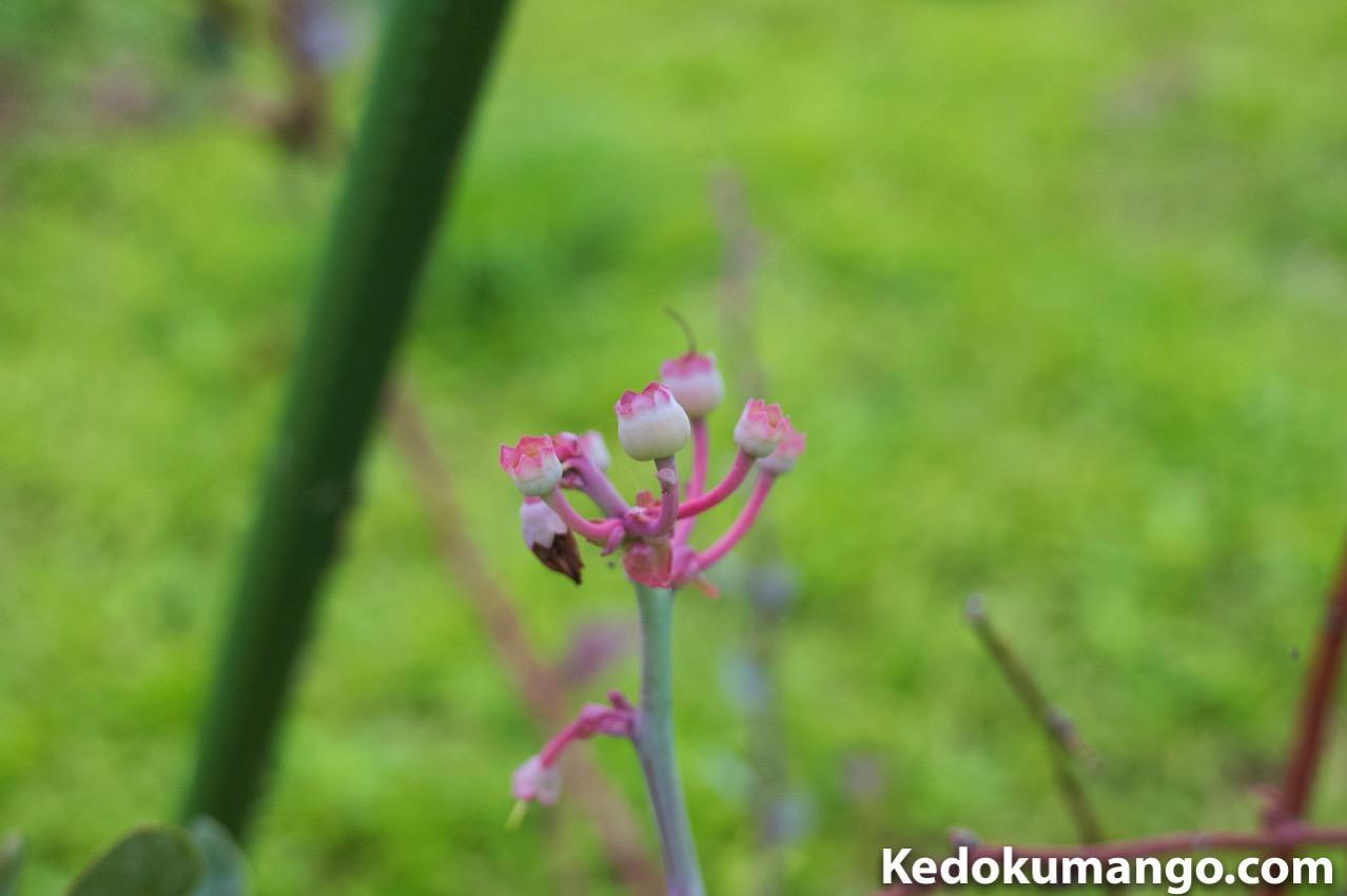 開花から2週間が経過したブルーベリー-2