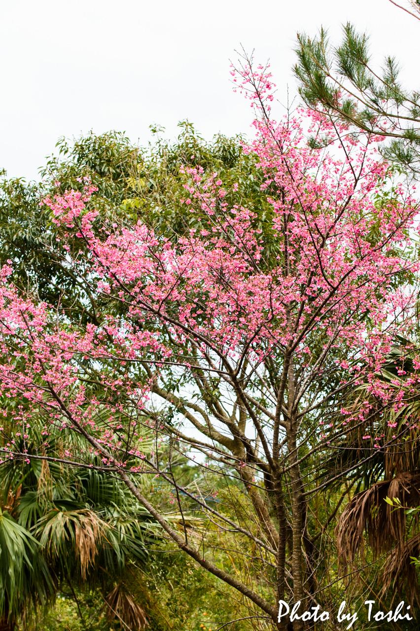 花徳地区での緋寒桜-1