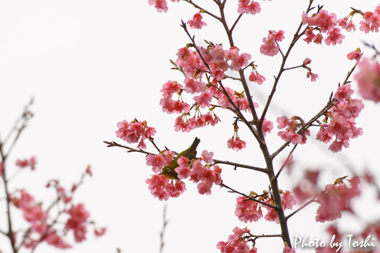 緋寒桜とメジロ-1