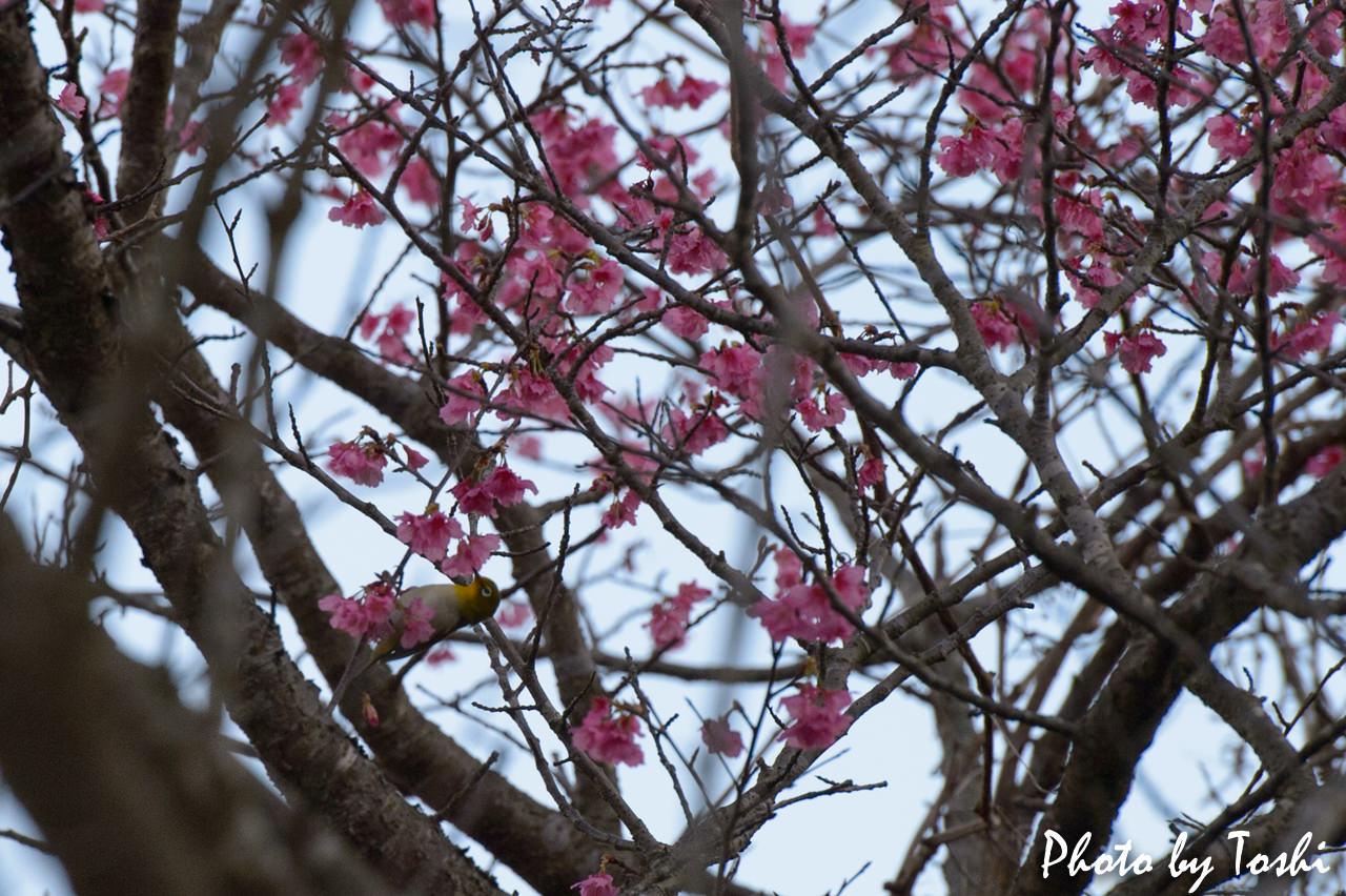 緋寒桜とメジロ-2