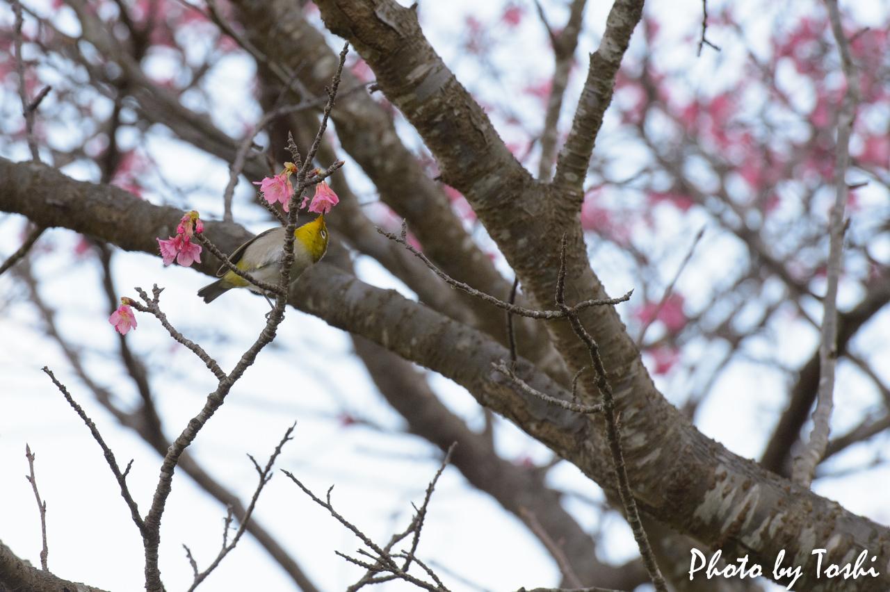 緋寒桜とメジロ-3