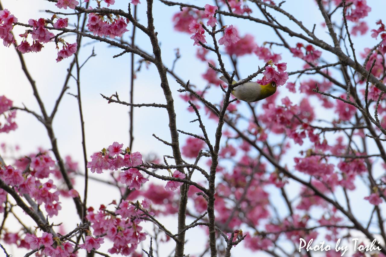 緋寒桜とメジロ-4