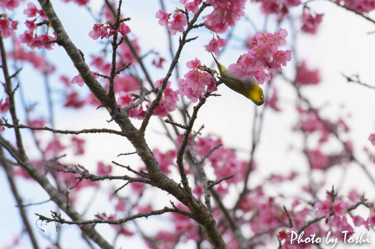 緋寒桜とメジロ-5