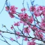 2016年の徳之島での「緋寒桜(ヒカンザクラ)」の開花