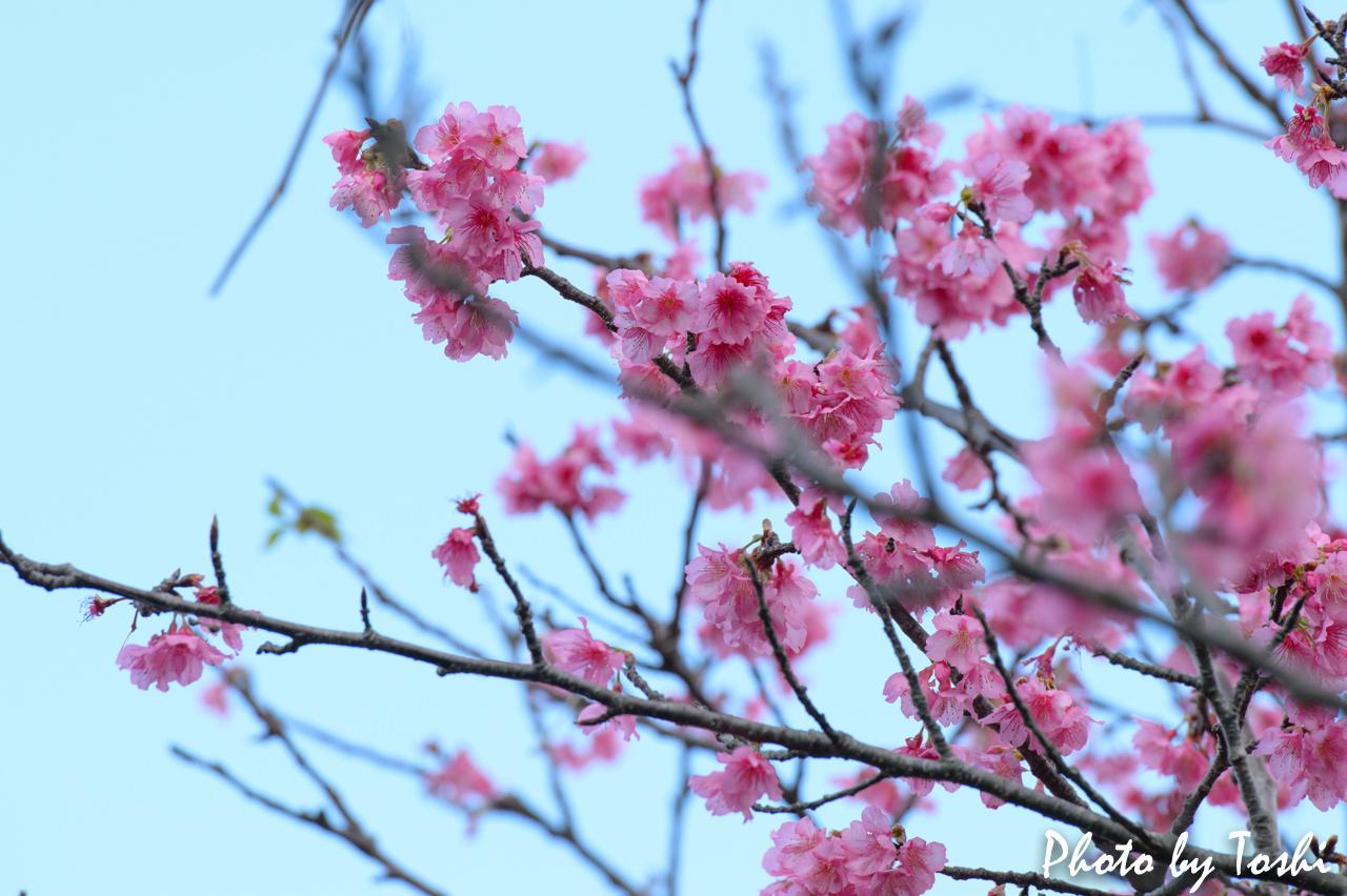 2016年の徳之島での「緋寒桜(ヒカンザクラ)」の開花 | 花徳マンゴー