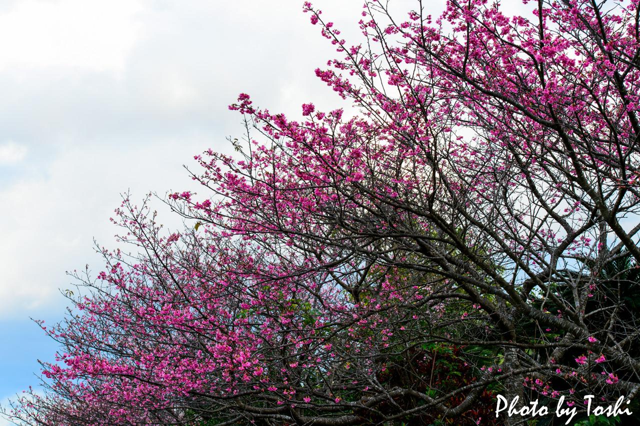 芝建設前の緋寒桜-1