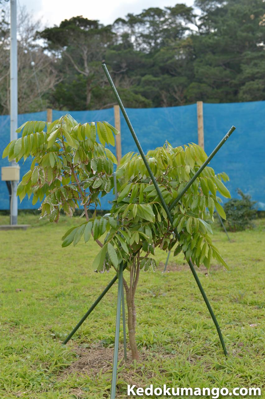 リュウガンの幼木