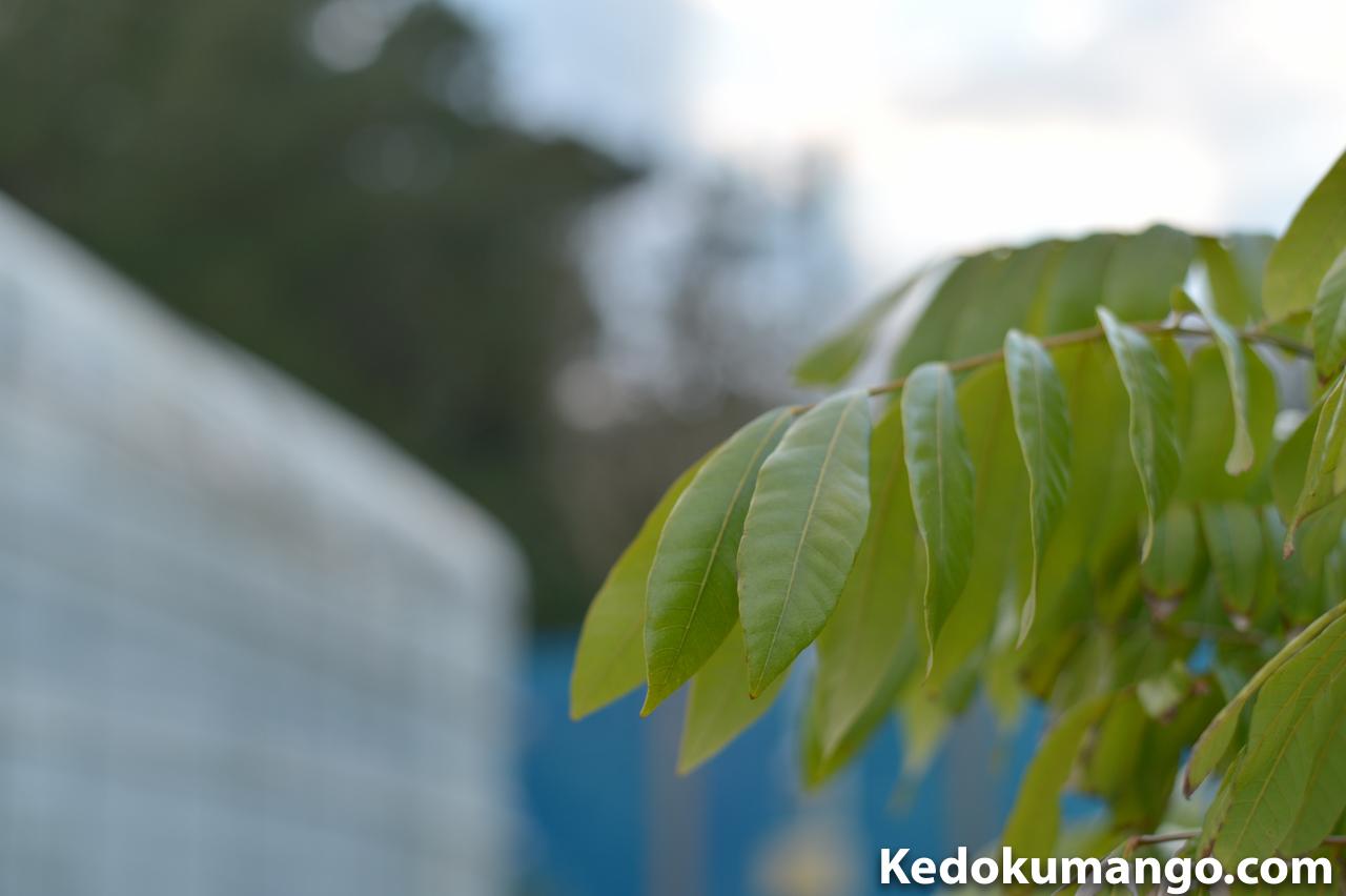 リュウガンの幼木の葉-1