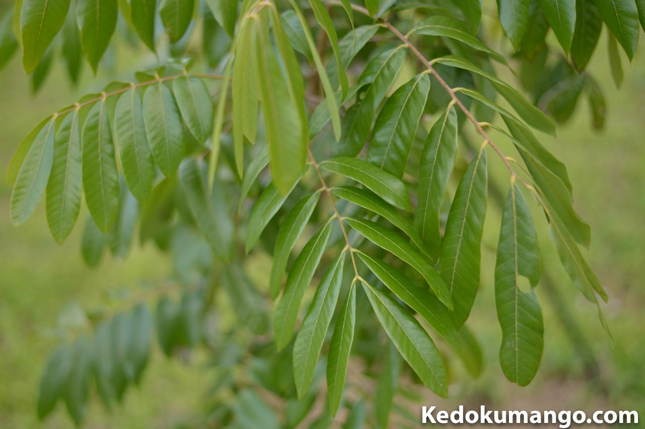 リュウガンの幼木の葉-2