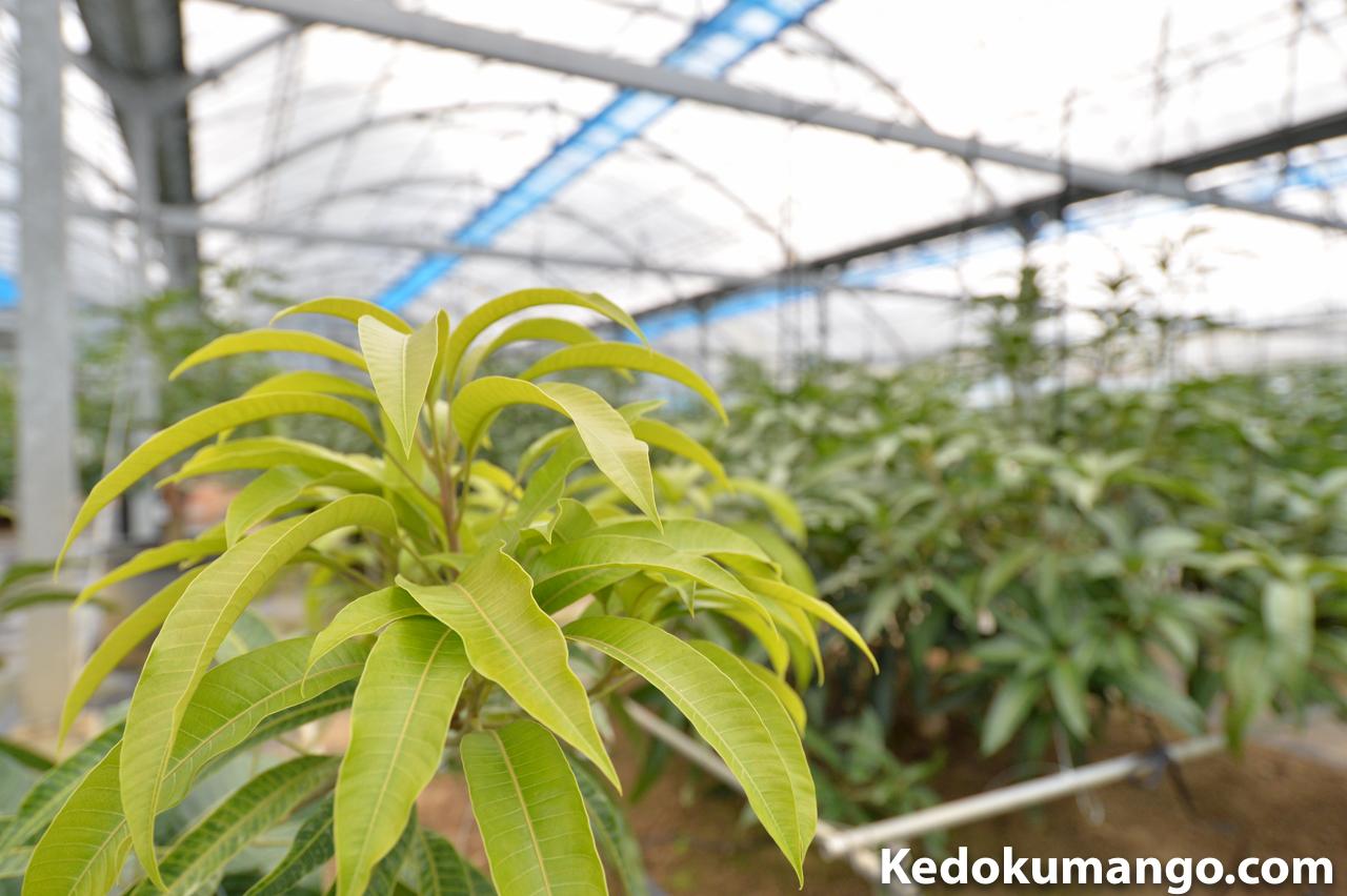 植物の剪定作業で注意したいこと! | 花徳マンゴー