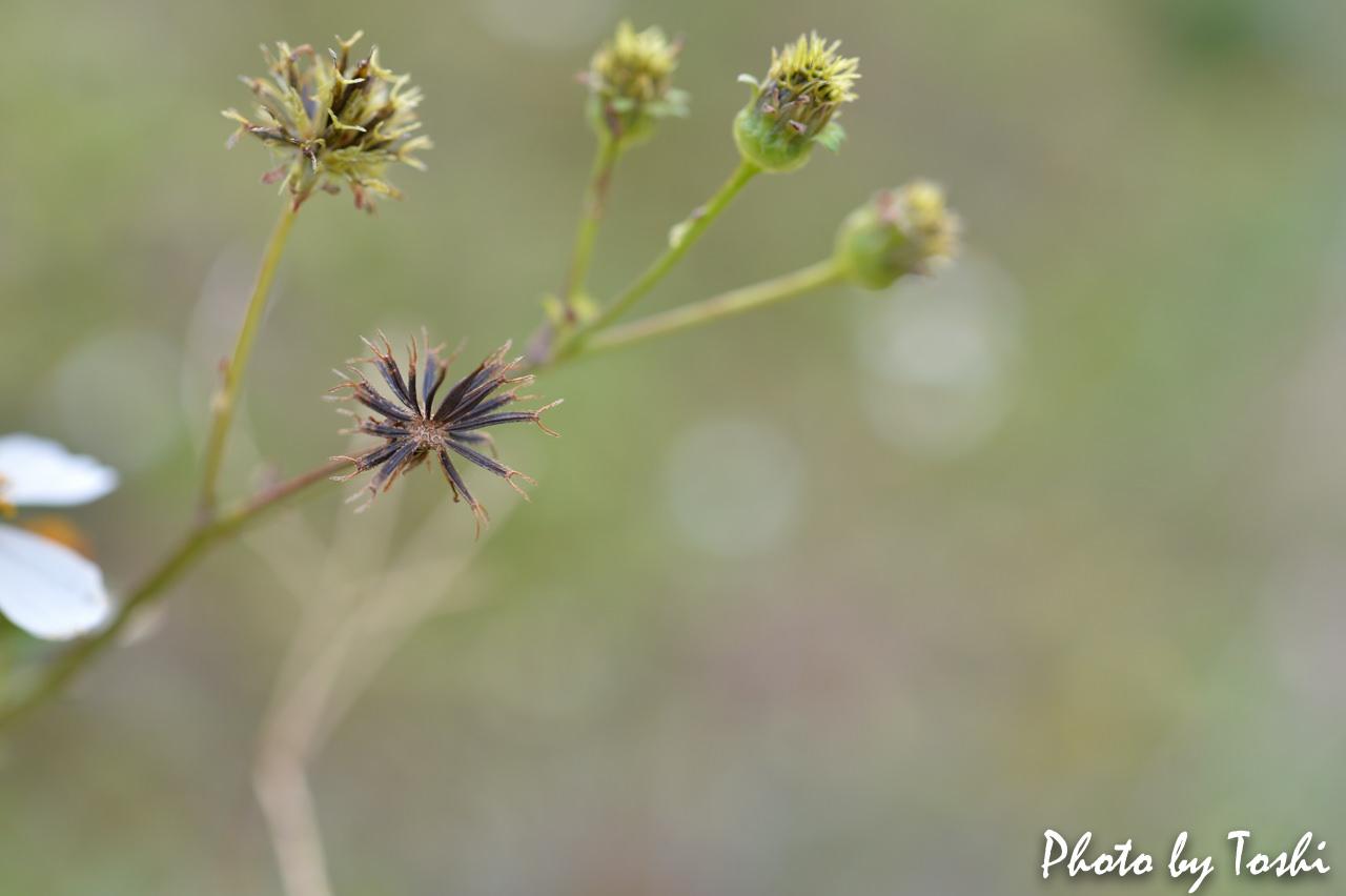 マクロレンズで撮影した草花の種子