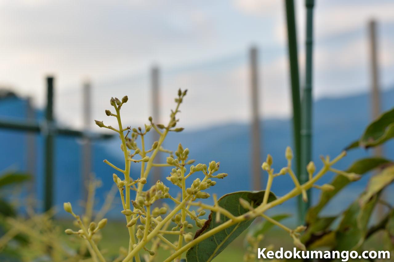 開花直前のアボカドの蕾(つぼみ)