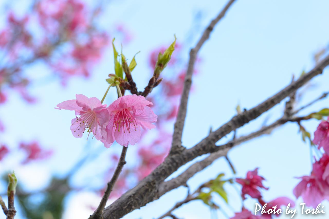 葉桜となりつつある緋寒桜-1