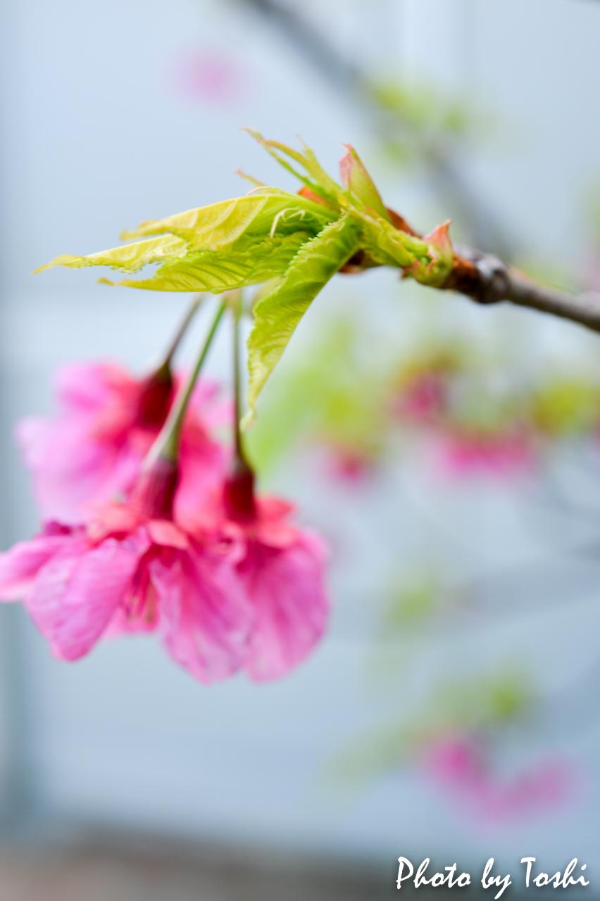 葉桜となりつつある緋寒桜-3