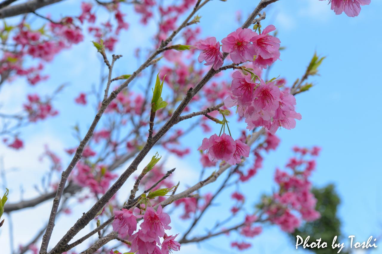 葉桜となりつつある緋寒桜-2