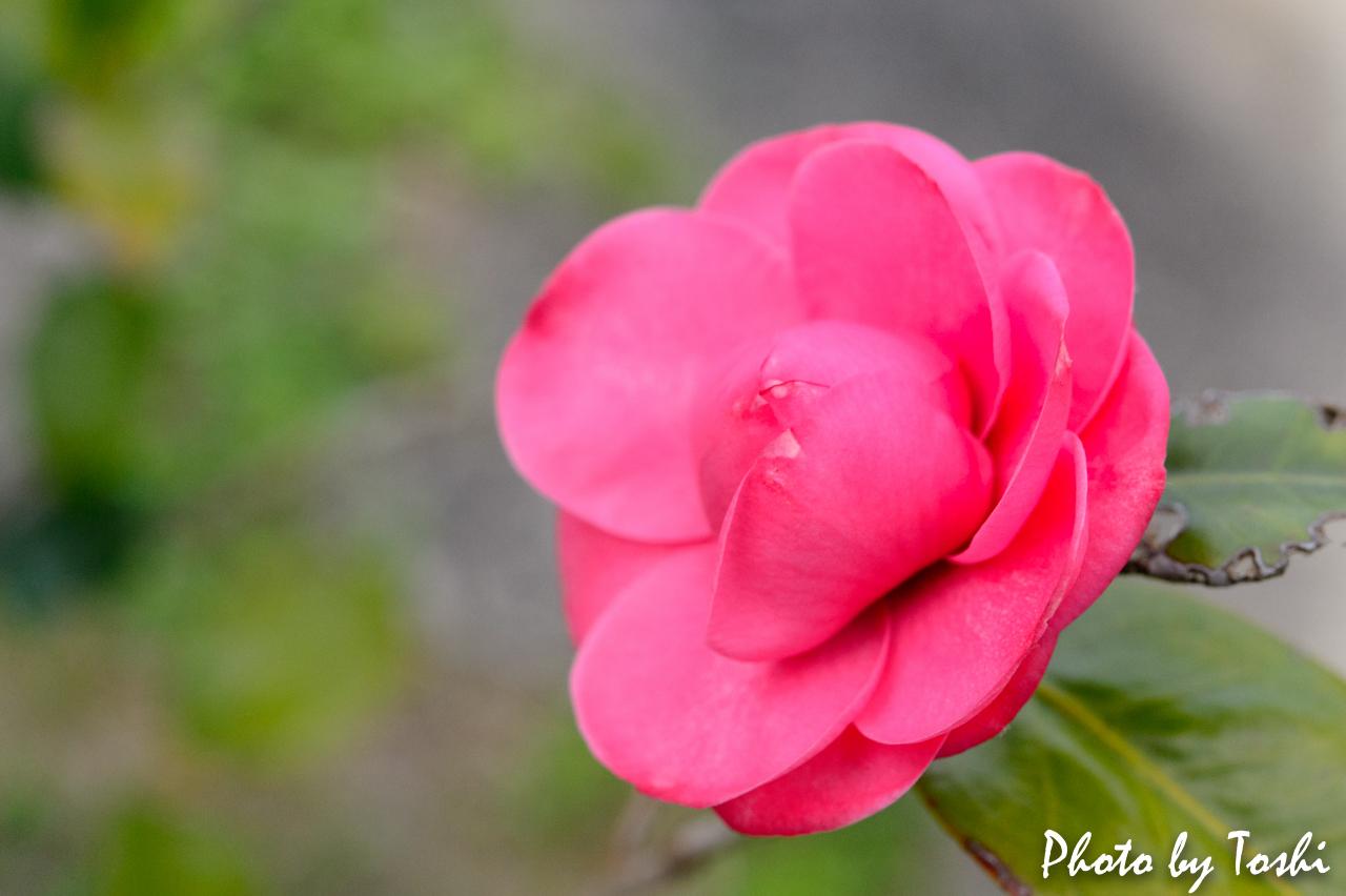 ヤブツバキの花-2