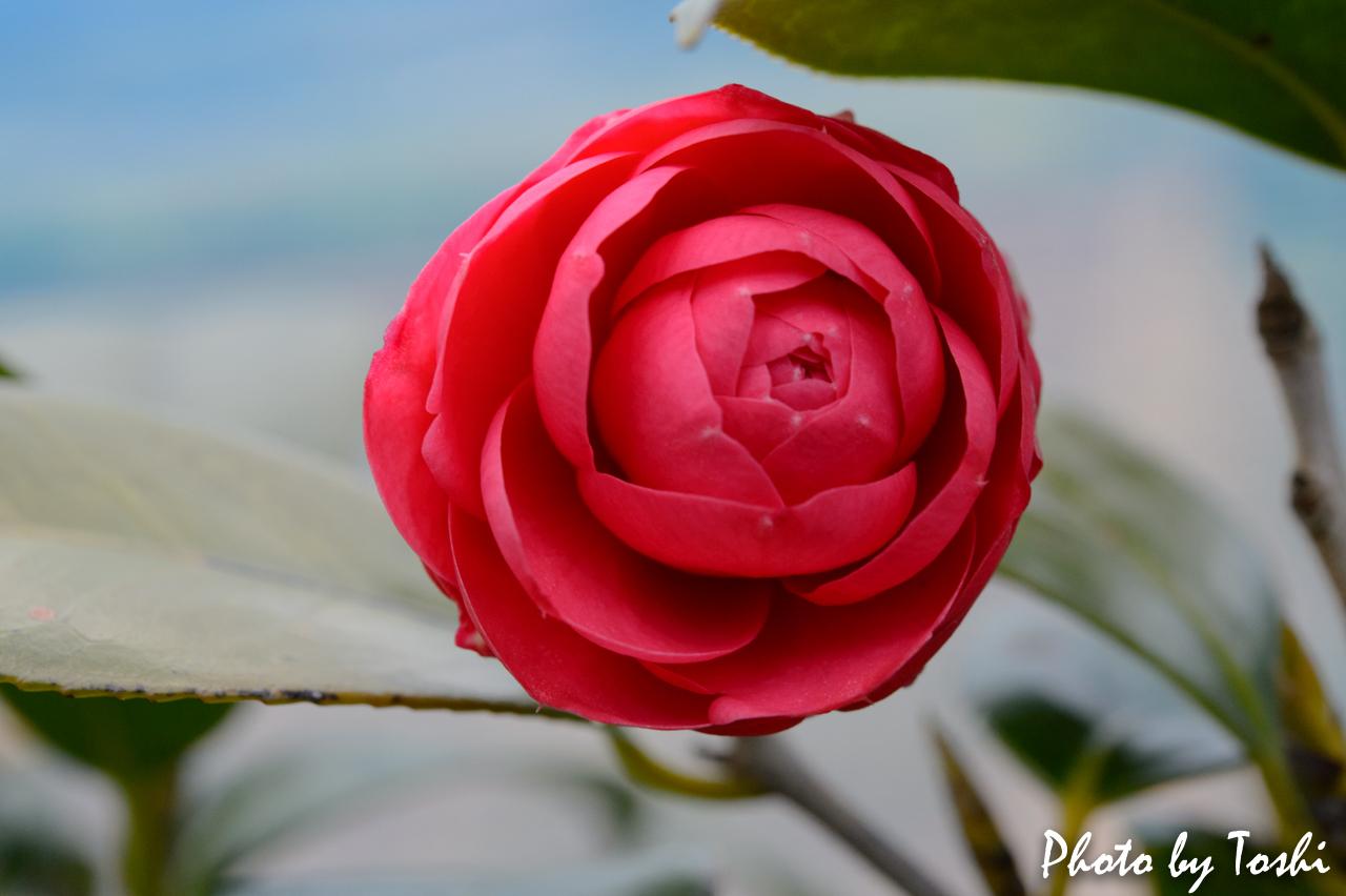 ヤブツバキの花-1