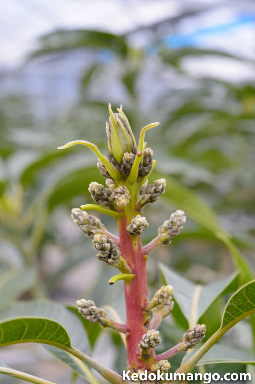 2016年2月下旬のマンゴー花芽の様子