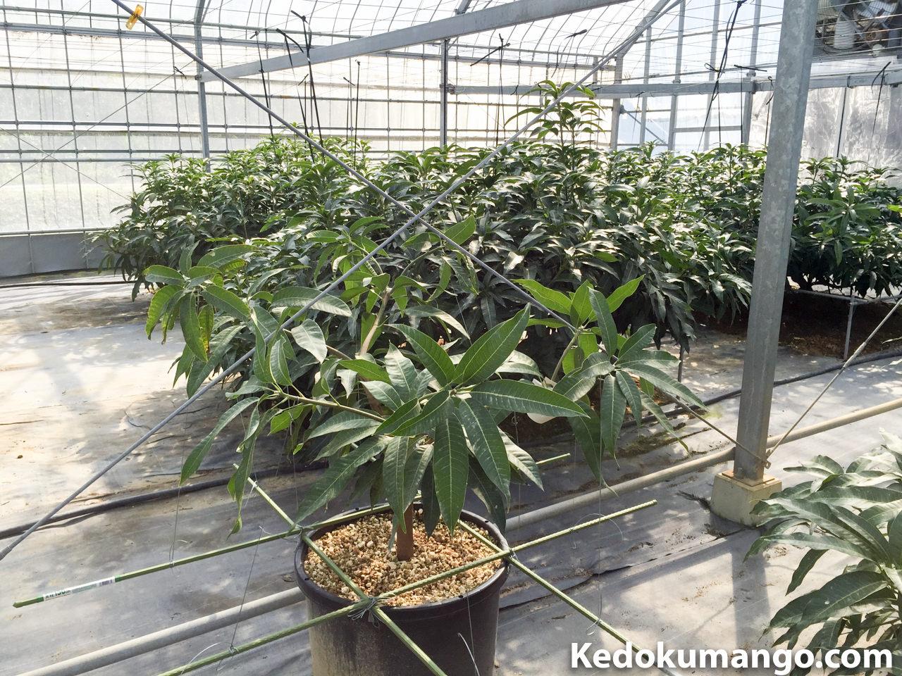 栽培1年目の「金蜜マンゴー」を切り返し剪定したよ! | 花徳マンゴー