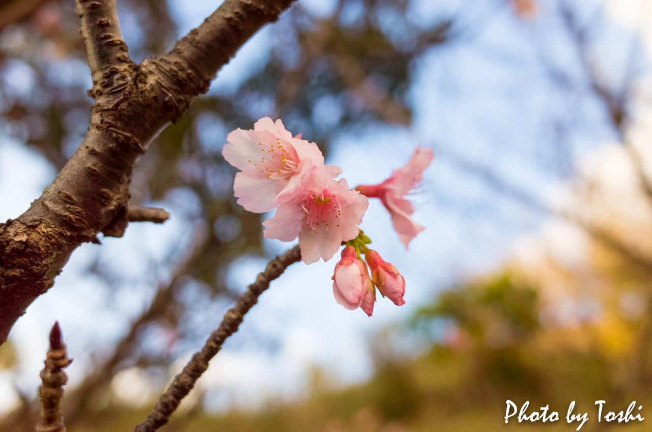 天寿園での緋寒桜-1