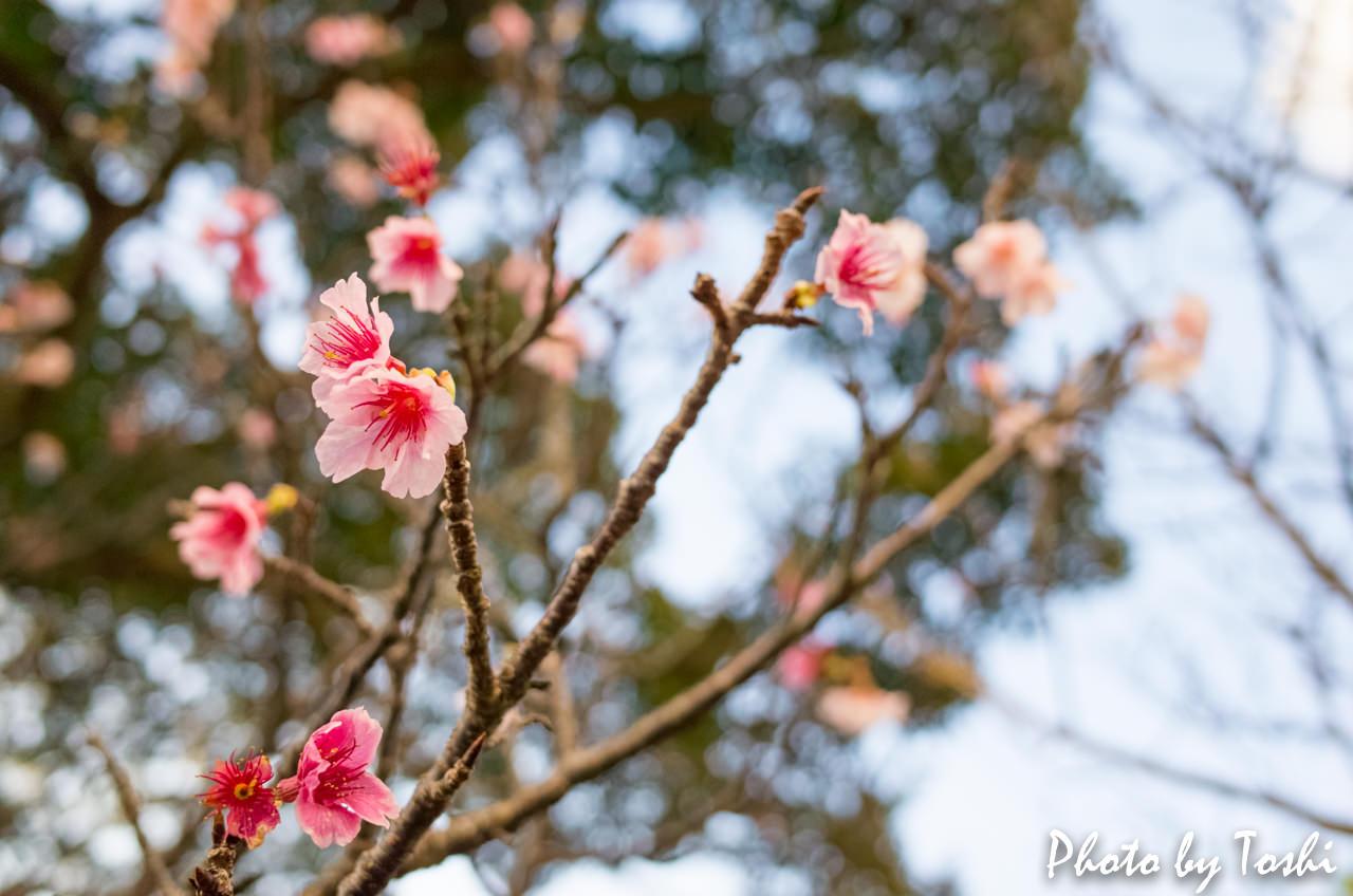 天寿園での緋寒桜-3