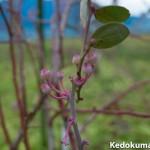 【ブルーベリー栽培】2月上旬のブルーベリーの成長の様子をご紹介!