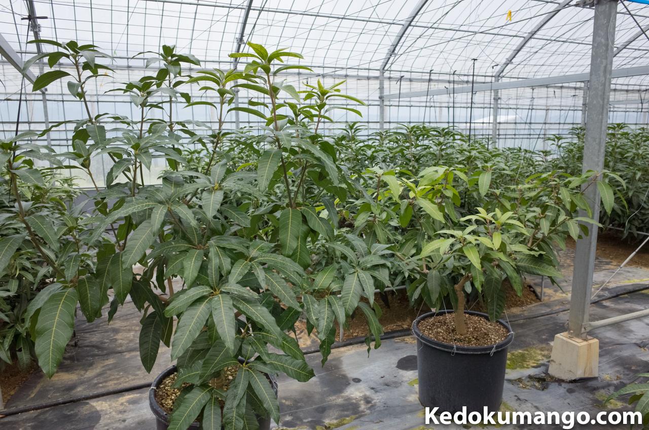 キーツのポット栽培の様子