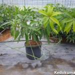 マンゴーのポット鉢栽培の誘引方法について考えてみた!