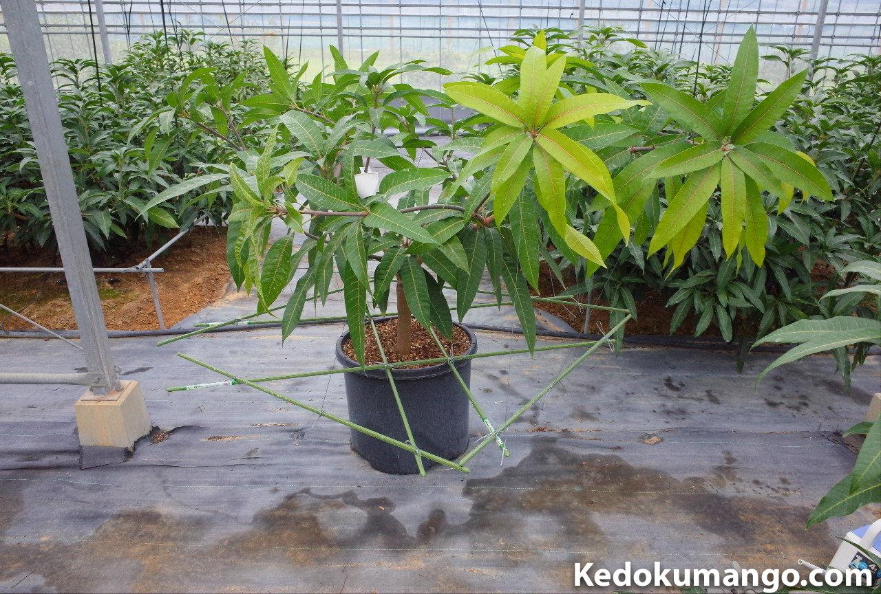 マンゴーのポット栽培での誘引方法-1