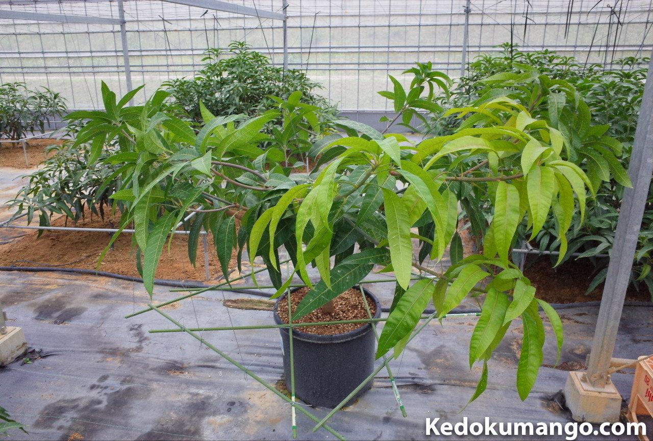 マンゴーのポット栽培での誘引方法-2