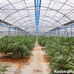 【マンゴー栽培】真っ赤な完熟マンゴーを作るための栽培暦(3月編)