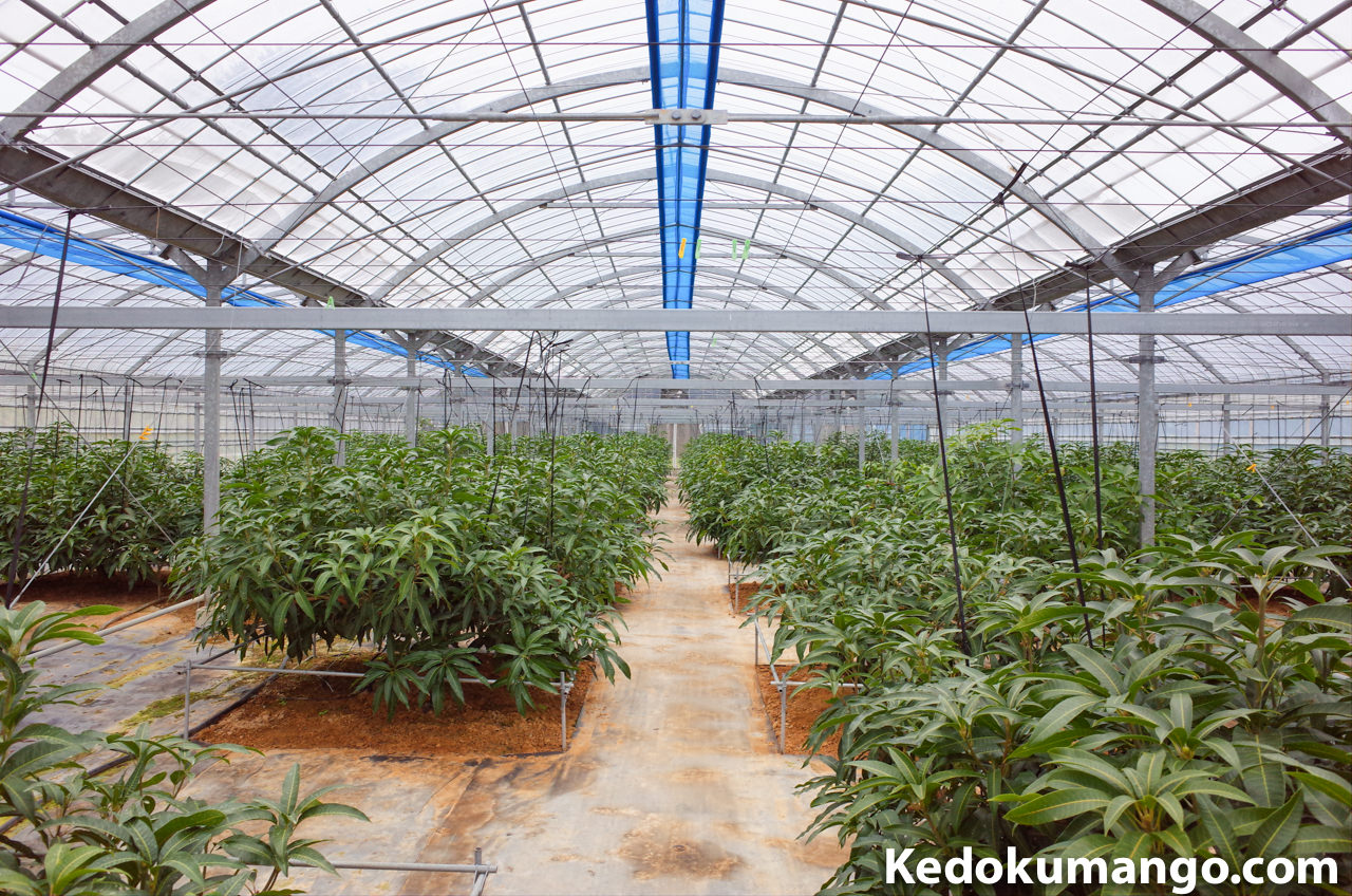 2月下旬のマンゴー栽培のビニールハウス内の様子
