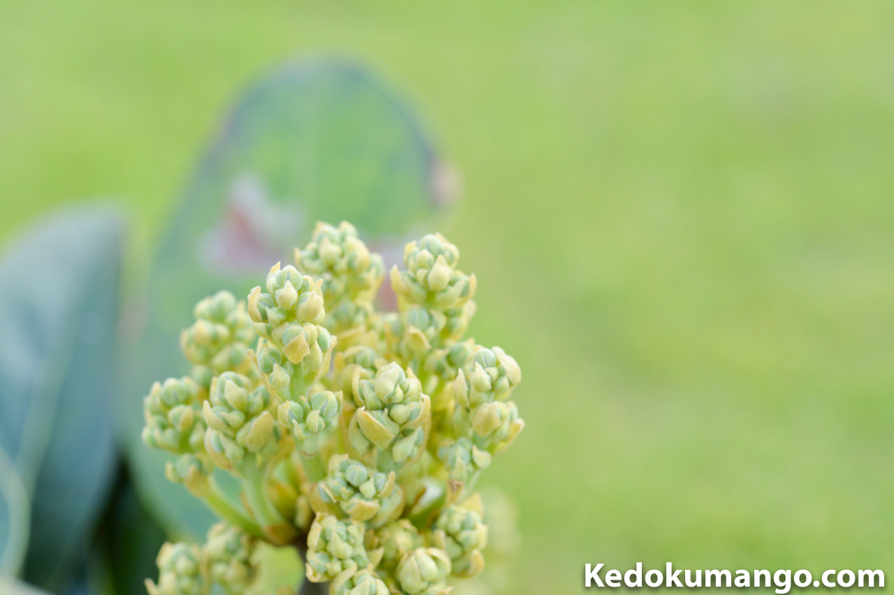 徳之島での3月上旬のアボカドの蕾の様子-3