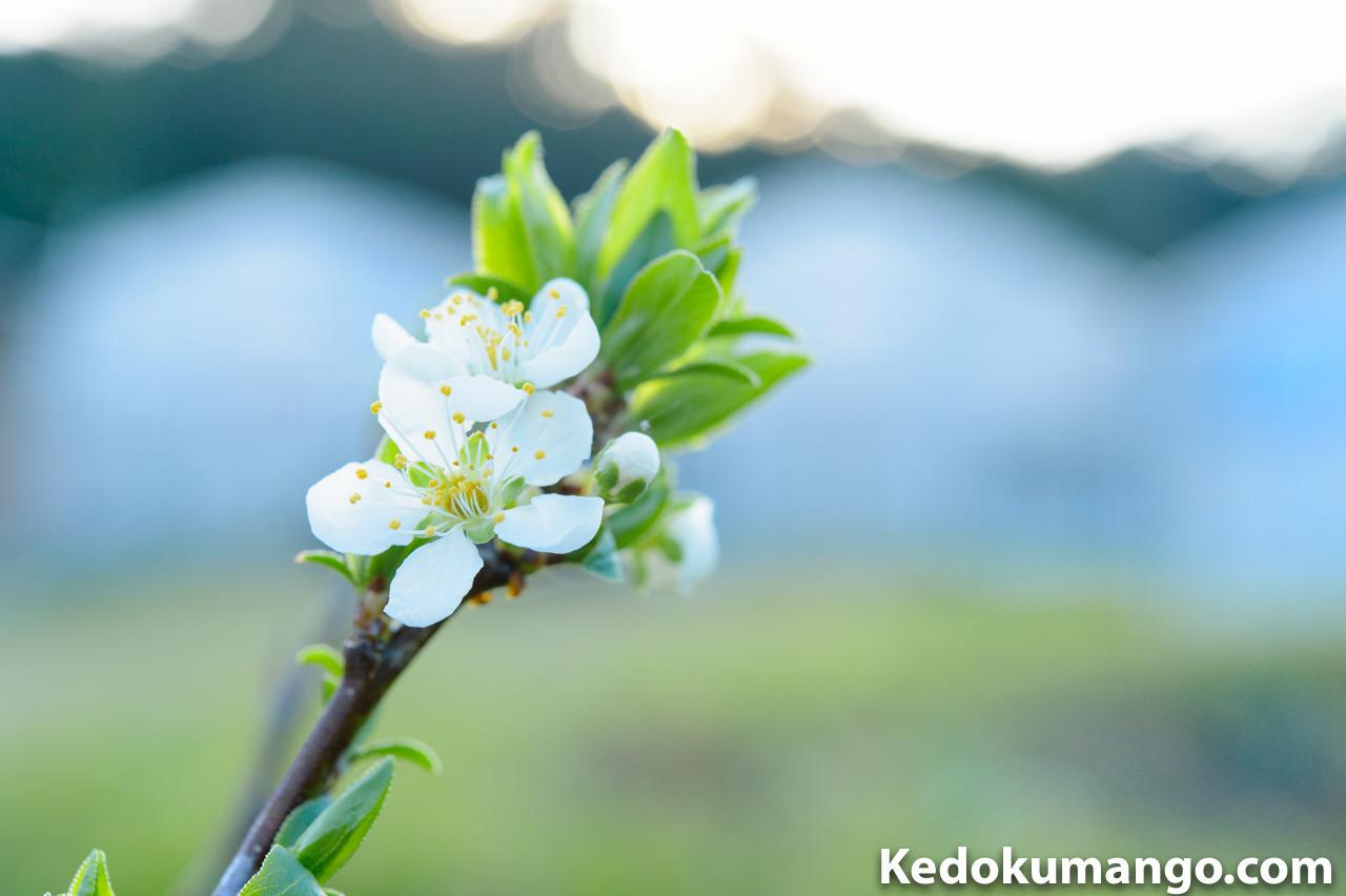 徳之島での3月上旬の「アボカド」「ブルーベリー」「すもも」の成長の様子 | 花徳マンゴー